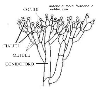 Struttura Penicillium