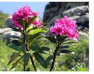 Rododendro - Azalea foglie ...