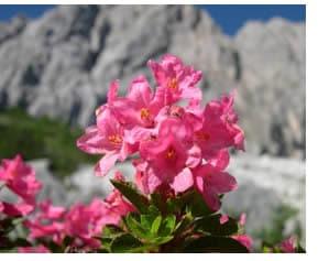 Rhododendrom hirsutum