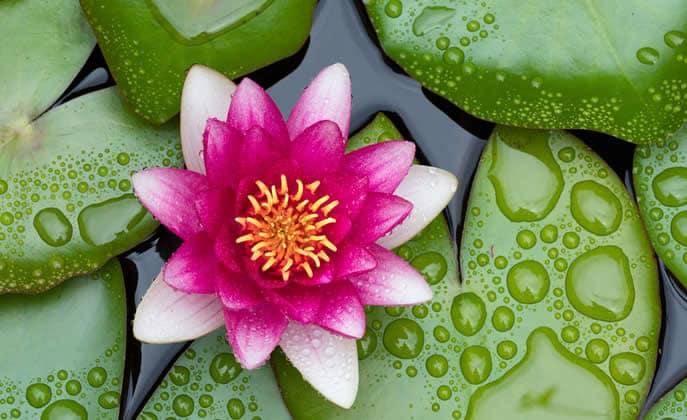 Fiore Di Loto Proprieta Curative