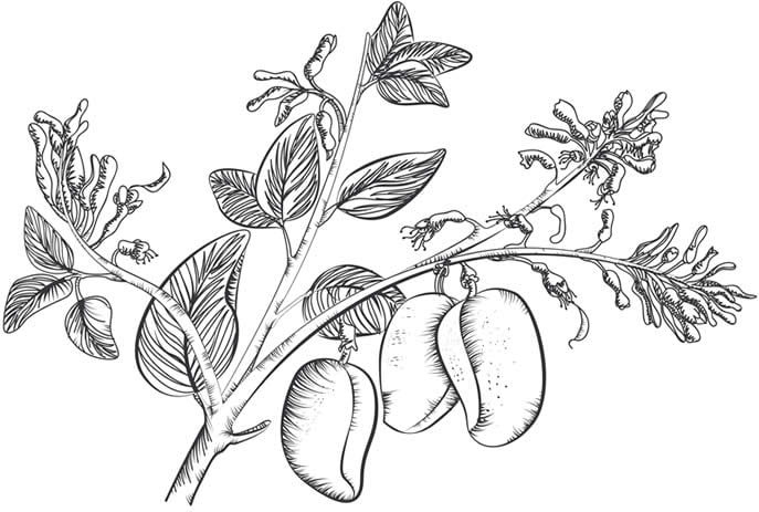 Griffonia