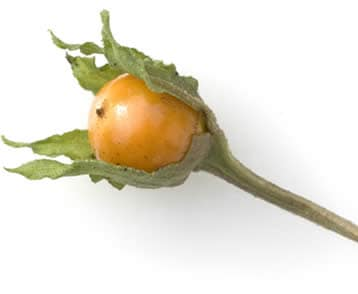 Mandragola frutto