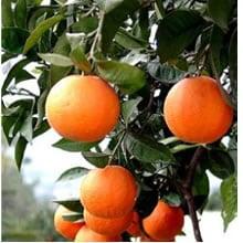 Arancio amaro (scorza del frutto)