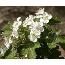 Biancospino (foglie)