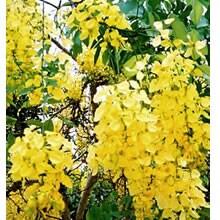 Cassia fisula