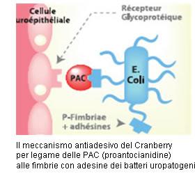 Escherichia coli e Pac