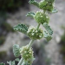 Marrubio (Sommità fiorite)