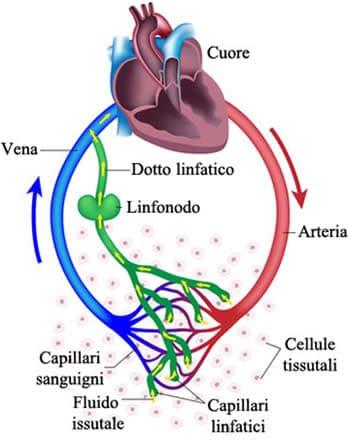 Circolazione sanguigna linfatica