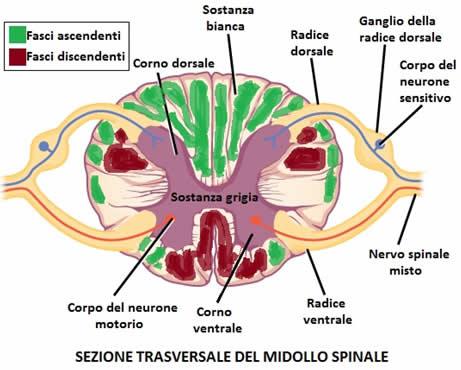 Midollo spinale e sistema nervoso centrale