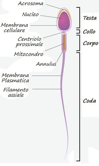 Spermatozoo