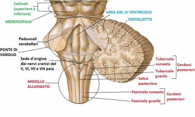 Tronco encefalico visione posteriore