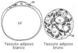 Il Tessuto Adiposo Tessuto-adiposo_clip_image002
