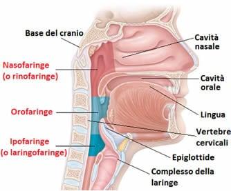 La faringe. Anatomicamente, la faringe si estende dalla base del cranio fino alla VI vertebra cervicale; da qui in poi, comincia l'esofago, un tubo lungo all'incirca 25-30 centimetri, che serve a condurre il cibo nello stomaco.