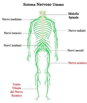 Il decorso del nervo sciatico lungo gli arti inferiori dell'essere umano. A livello della gamba, il nervo sciatico dà vita al cosiddetto nervo tibiale.