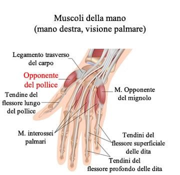 http://www.my-personaltrainer.it/imgs/2018/01/15/eminenza-tenar-muscolo-opponente-del-pollice-orig.jpeg