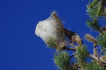 Nido Sericeo di Processionaria del pino