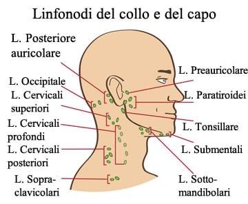 http://www.my-personaltrainer.it/imgs/2018/02/04/linfonodi-del-collo-e-del-capo-orig.jpeg