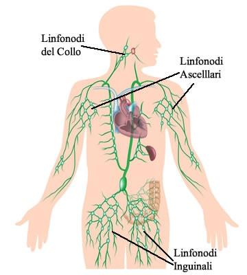 https://www.my-personaltrainer.it/imgs/2018/02/06/linfonodi-inguinali-anatomia-orig.jpeg