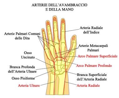 https://www.my-personaltrainer.it/imgs/2018/03/03/arteria-brachiale-arterie-radiale-e-ulnare-orig.jpeg