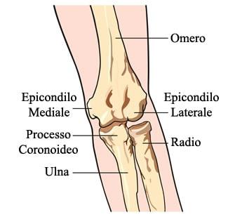 Anatomia del gomito.