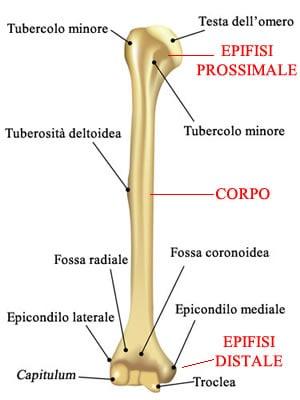 http://www.my-personaltrainer.it/imgs/2018/03/04/ossa-del-braccio-omero-orig.jpeg