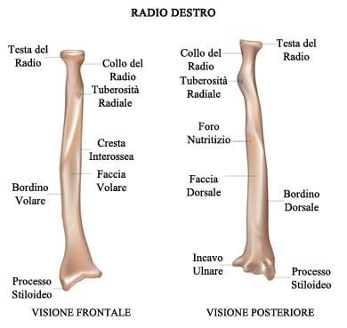 http://www.my-personaltrainer.it/imgs/2018/03/05/ossa-del-braccio-radio-orig.jpeg
