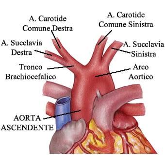 http://www.my-personaltrainer.it/imgs/2018/03/16/aorta-ascendente-arco-aortico-e-branche-orig.jpeg