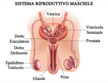 http://www.my-personaltrainer.it/imgs/2018/03/27/oligospermia-e-sistema-riproduttivo-maschile-orig.jpeg