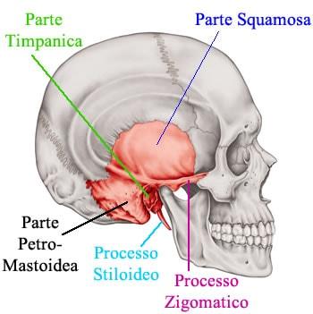 http://www.my-personaltrainer.it/imgs/2018/03/29/osso-temporale-parti-e-processi-orig.jpeg