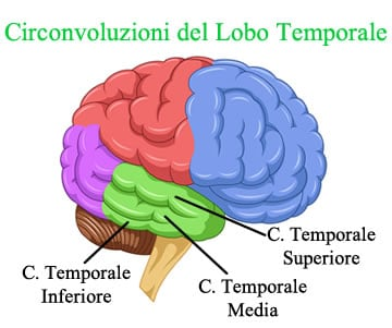 https://www.my-personaltrainer.it/imgs/2018/03/30/lobo-temporale-circonvoluzioni-orig.jpeg