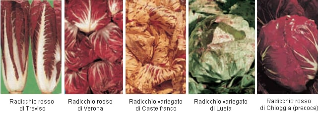 https://www.my-personaltrainer.it/imgs/2018/05/11/tipi-di-radicchio-orig.png