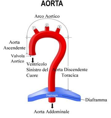 https://www.my-personaltrainer.it/imgs/2018/05/14/aorta-addominale-diaframma-orig.jpeg