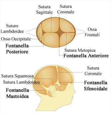 http://www.my-personaltrainer.it/imgs/2018/05/14/fontanelle-anatomia-orig.jpeg
