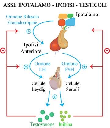 https://www.my-personaltrainer.it/imgs/2018/05/21/ghiandole-endocrine-asse-ipotalamo---ipofisi---testicoli-orig.jpeg
