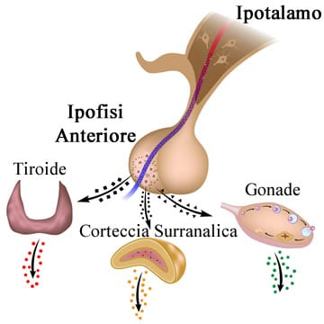 https://www.my-personaltrainer.it/imgs/2018/05/21/ghiandole-endocrine-asse-ipotalamo-ipofisi-orig.jpeg