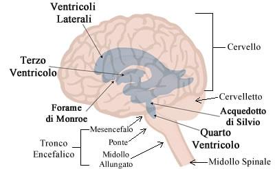 https://www.my-personaltrainer.it/imgs/2018/06/08/ventricoli-cerebrali-2-orig.jpeg