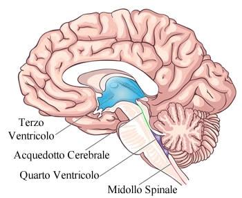 https://www.my-personaltrainer.it/imgs/2018/06/11/ventricoli-cerebrali-terzo-e-quarto-ventricolo-orig.jpeg