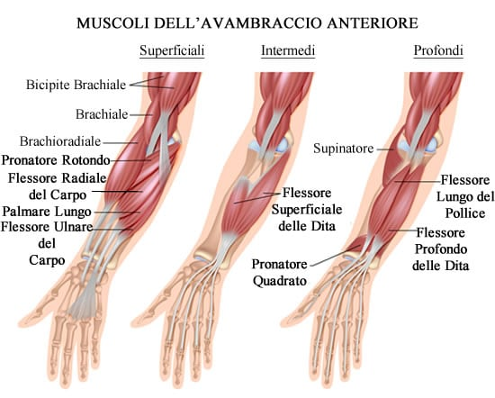 https://www.my-personaltrainer.it/imgs/2018/06/28/muscoli-dell-avambraccio-compartimento-anteriore-orig.jpeg