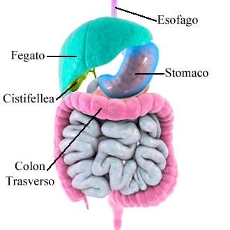 https://www.my-personaltrainer.it/imgs/2018/08/06/posizione-del-fegato-confini-e-rapporti-con-altri-organi-orig.jpeg
