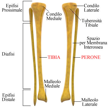 https://www.my-personaltrainer.it/imgs/2018/09/22/tibia-e-perone-2-orig.jpeg