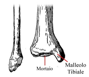 https://www.my-personaltrainer.it/imgs/2018/09/22/tibia-e-perone-epifisi-distale-orig.jpeg