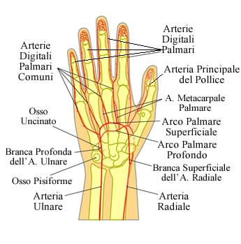 https://www.my-personaltrainer.it/imgs/2018/10/09/dita-della-mano-irrorazione-sanguigna-orig.jpeg