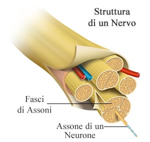 https://www.my-personaltrainer.it/imgs/2018/11/12/nervi-cranici-struttura-di-un-nervo-orig.jpeg