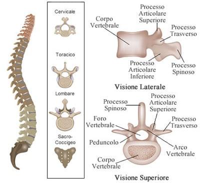 https://www.my-personaltrainer.it/imgs/2018/11/26/vertebre-lombari-ripasso-della-colonna-vertebrale-orig.jpeg