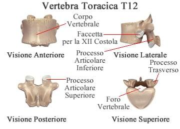 https://www.my-personaltrainer.it/imgs/2018/11/26/vertebre-toraciche-vertebra-t12-orig.jpeg