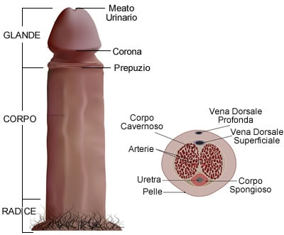 https://www.my-personaltrainer.it/imgs/2019/01/14/glande-anatomia-del-pene-orig.jpeg