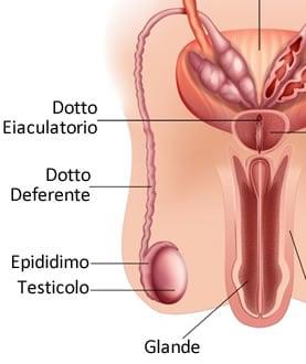 https://www.my-personaltrainer.it/imgs/2019/02/11/apparato-genitale-maschile-epididimo-e-dotto-deferente-orig.jpeg
