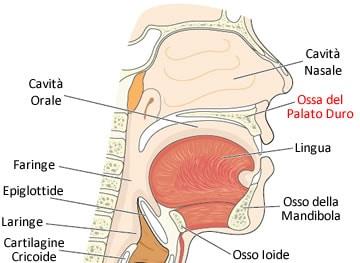 https://www.my-personaltrainer.it/imgs/2019/02/19/palato-duro-componente-ossea-orig.jpeg