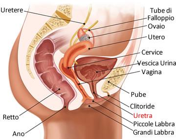 https://www.my-personaltrainer.it/imgs/2019/04/15/uretra-femminile-anatomia-posizione-orig.jpeg
