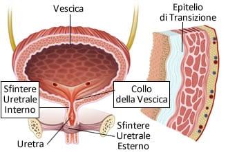 https://www.my-personaltrainer.it/imgs/2019/04/15/uretra-femminile-anatomia-sfinteri-ed-epitelio-di-transizione-orig.jpeg